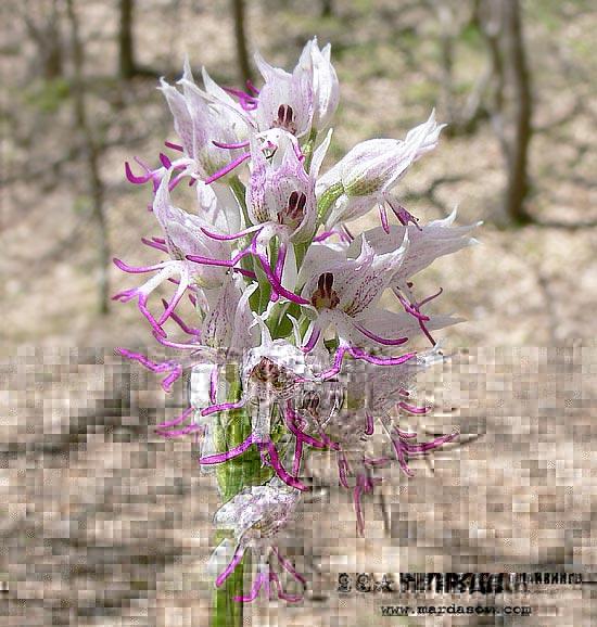 Фотография крымской орхидеи