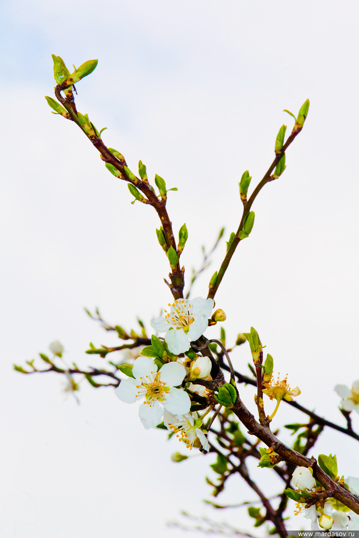 Цветы алычи